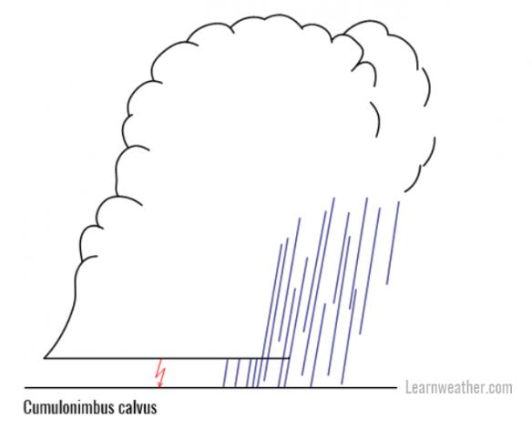 Cb calvus LW 2